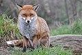 Fox looking at me (8505181910).jpg