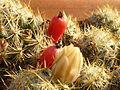 Früchte, Mammillaria Prolifera.JPG