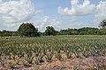 French Guiana Cacao ananas plantation.jpg