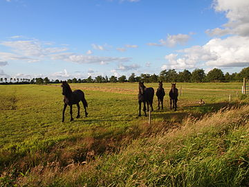 Friese paarden.NP-AldeFeanen.JPG