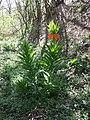 Fritillaria imperialis sl1.jpg
