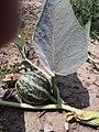Fruit of Cucurbita foetidissima (Buffalo Gourd) GH8UG1911.jpg