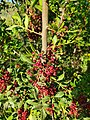 Fruits de llentiscle per la Garganteta, Senija.jpg