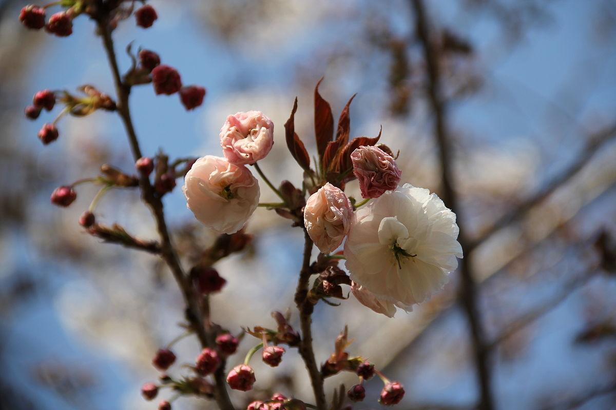 Fugenzo, Cerasus lannesiana 'Albo-rosea' Makino.JPG