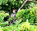 Fulvous Breasted Woodpecker I3 Picture 123.jpg