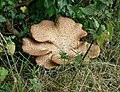 Fungi on the towpath - geograph.org.uk - 546300.jpg