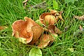 Fungi sp. (7914534290).jpg