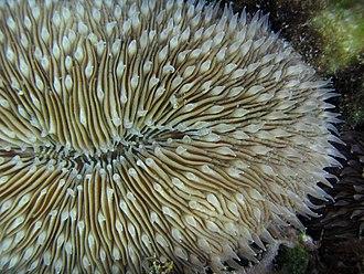 Fungiidae - Fungia scutaria