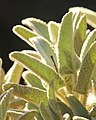 Fuzzy Plant (235729059).jpeg