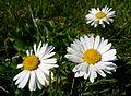 Gänseblümchen im Rasen 2010 (Nordrheinwestfalen) (2).jpg