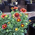 Gaillardia-arizona-red-shades-IMG 5180.jpg
