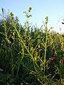 Galium spurium var. echinospermum sl46.jpg