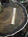 Ganoderma tornatum (Pers.) Bres 399483.jpg