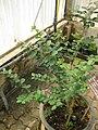 Gardenology.org-IMG 7823 qsbg11mar.jpg