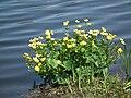 Gelb blühende Pflanze Bad Waldsee.JPG