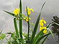 Gelbe Sumpf-Schwertlilie.jpg