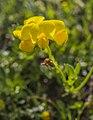 Gewöhnlicher Hornklee Lotus corniculatus nordöstlich vom Kleidersee (2).jpg