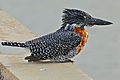 Giant Kingfisher (Megaceryle maximus) male (16340875108).jpg