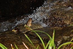 Giant Spiny Frog (Quasipaa spinosa) 棘胸蛙3.jpg