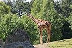 Giraffa camelopardalis (Girafe) - 382.jpg