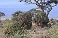 Giraffa camelopardalis in Kenya 39.jpg