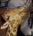Giraffe, Wildlife Panorama, National Museum of Scotland (7035382161).jpg