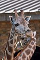 Giraffe - Flickr - p a h.jpg