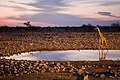 Giraffe at Okaukuejo waterhole (3687260279).jpg