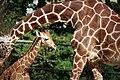 Giraffes (44264942).jpeg