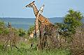 Giraffes (Giraffa camelopardalis) (16547224831).jpg