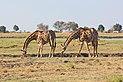 Giraffes in Chobe National Park 05.jpg