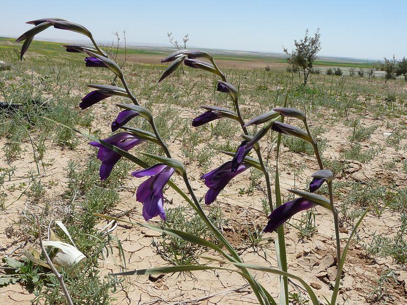 File:Gladiolus atroviolaceus.jpg