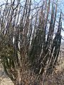 Glandulicereus thurberi (5761252664).jpg