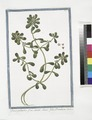Glaux palustris flore striato, clauso, foliis Portulacæ (NYPL b14444147-1124959).tiff