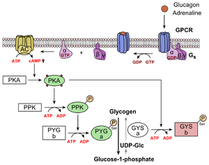 Glucagon - Metabolic regulation of glycogen by glucagon.