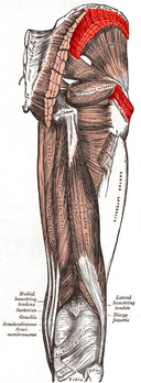 Gluteus medius muscle.PNG