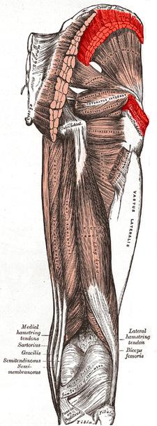 m.gluteus medius