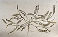 Goat's-thorn (Astragalus sp.); entire flowering and fruiting Wellcome V0042943.jpg