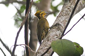 Golden-green Woodpecker (Piculus chrysochloros) (8079739212).jpg