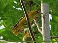 Golden Oriole (Oriolus oriolus) (22990348533).jpg