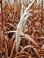 Golden Plant (1669346169).jpg
