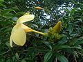 Allamanda flower 1.jpg