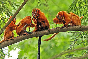 Golden lion tamarin - Family groups may consist of up to eight members.