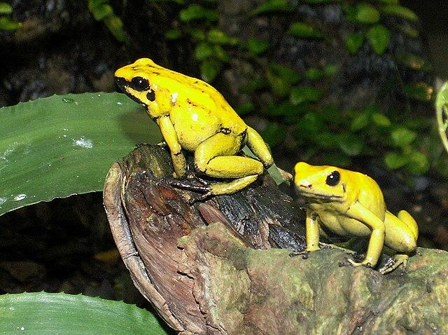 Pralesnička zlatá - najjedovatejšia žaba sveta, žije v Južnej Amerike