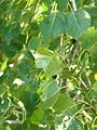Golena fiume Adige, foglie pioppo (Boara Polesine, Rovigo).JPG