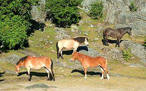 Slottsskogens djurpark - Gotland ponies in the Slottsskogen zoo