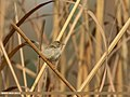 Graceful Prinia (Prinia gracilis) (33008018636).jpg