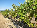 Grape Vines - panoramio (1).jpg