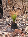 Grass tree after fire.jpg