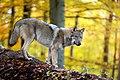 Grauwolf im Herbst.jpg